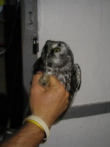 Boreal Owl at the Tip of Long Point, November 1, 2008. Photo SAM