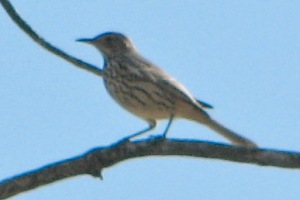 Sage Thrasher at the TIp of Long Point September 30, 2012. Photo Stu Mackenzie