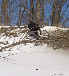 Turkey Vulture at the Tip of Long Point, January 24, 2013. Photo MSWB