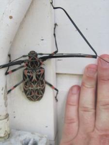 Ferg_beetle