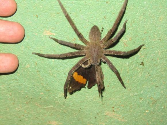 Ferg's Spider