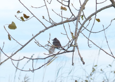 Ash-throated Flycatcher - Tip of Long Point - October 27, 2013. Photo Courtesy - Morgan Brown